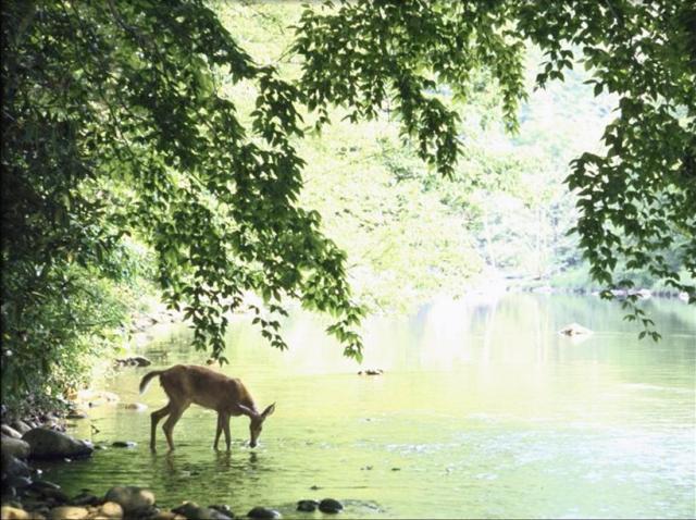 Deer drinkink water
